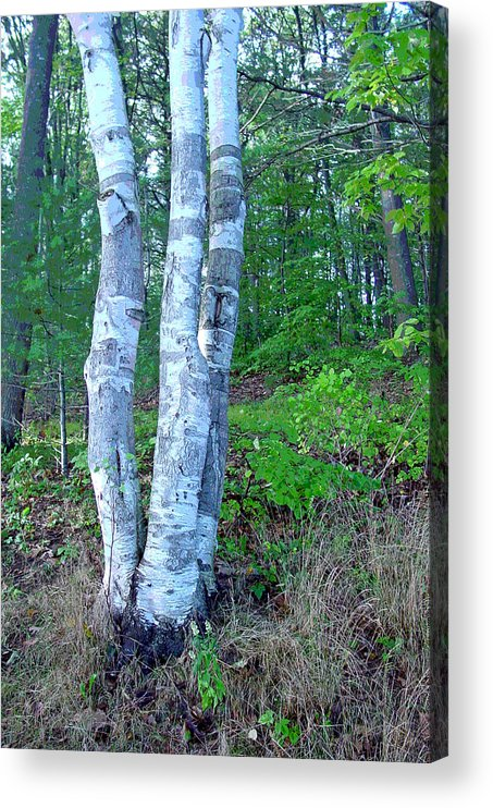 Birch Tree Acrylic Print featuring the photograph Lone Birch in the Maine Woods by Suzanne Gaff
