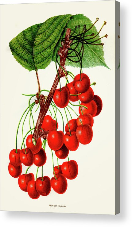 Engraving Acrylic Print featuring the digital art Mercer Cherry Illustration 1892 by Thepalmer