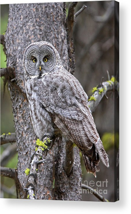 Great Gray Owl Acrylic Print featuring the photograph Natures Camo by Bill Singleton