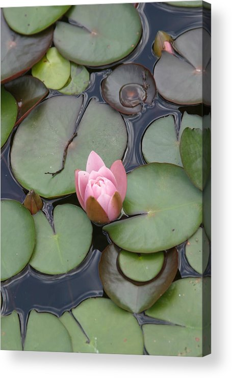 Lilly Acrylic Print featuring the photograph Pink Lilly by Dervent Wiltshire