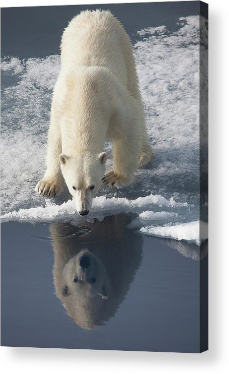 Svalbard Islands Acrylic Print featuring the photograph Polar Bear With Reflection by Galaxiid