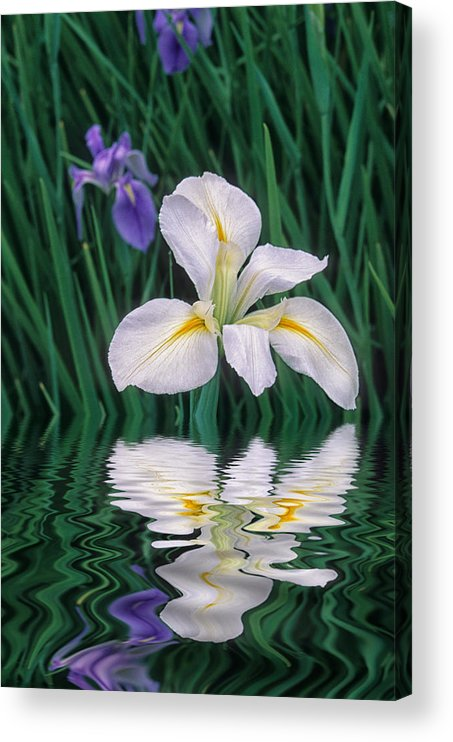 Flower Acrylic Print featuring the photograph White Iris by Keith Gondron