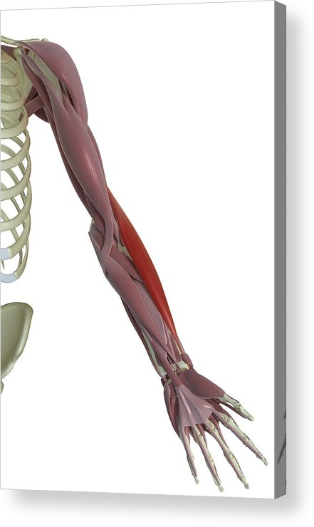 Vertical Acrylic Print featuring the photograph Brachioradialis by MedicalRF.com