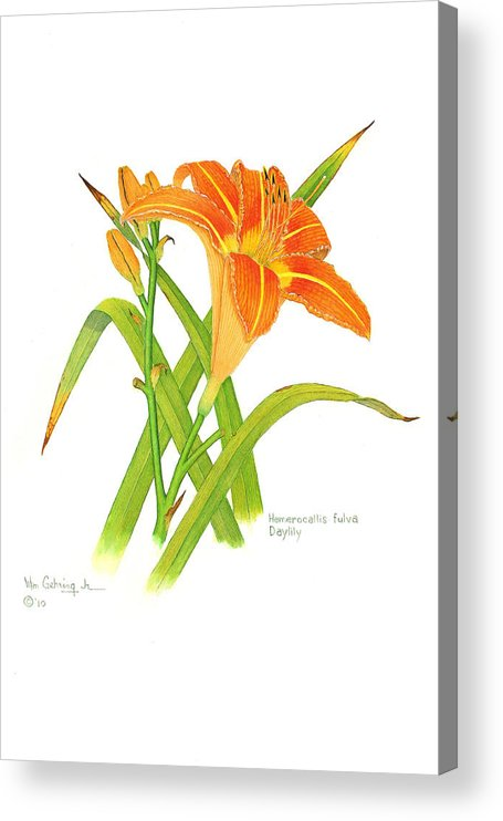 Flowers Acrylic Print featuring the painting Hemerocallis fulva Daylily by Bill Gehring