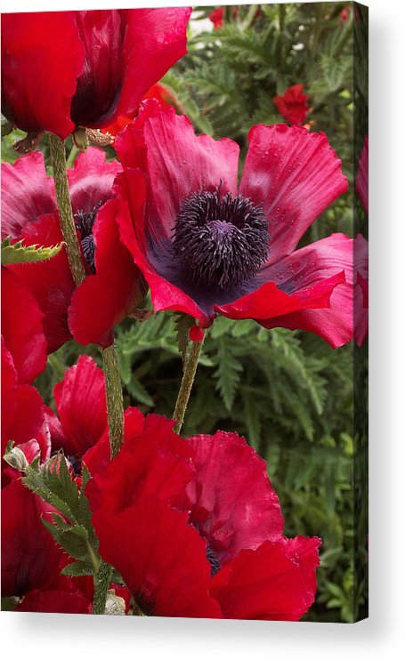 Poppies Acrylic Print featuring the photograph Poppies Rouge by Alan Rutherford