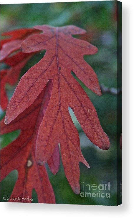 Outdoors Acrylic Print featuring the photograph Red Oak Leaf by Susan Herber