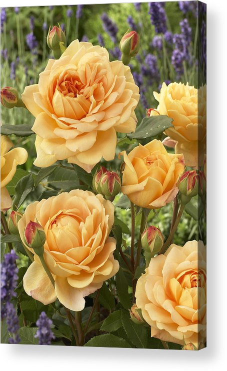 Vp Acrylic Print featuring the photograph Rose Rosa Sp Golden Celebration Variety by VisionsPictures
