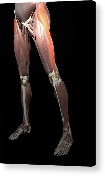 Vertical Acrylic Print featuring the photograph Thigh/lower Limb Abduction by MedicalRF.com