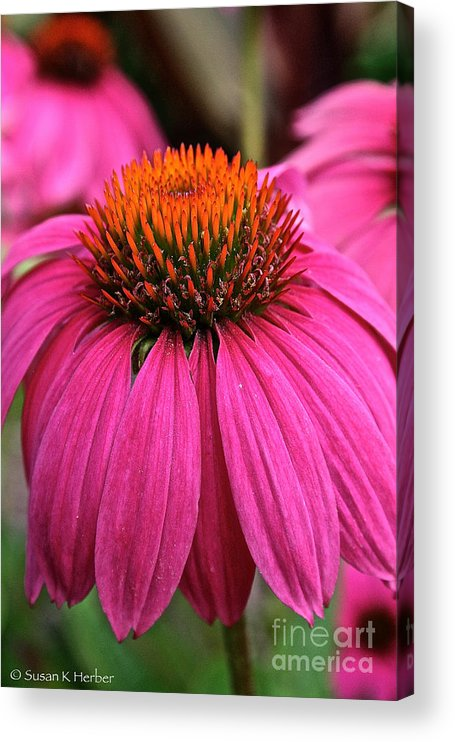 Plant Acrylic Print featuring the photograph Wild Berry Purple Cone Flower by Susan Herber