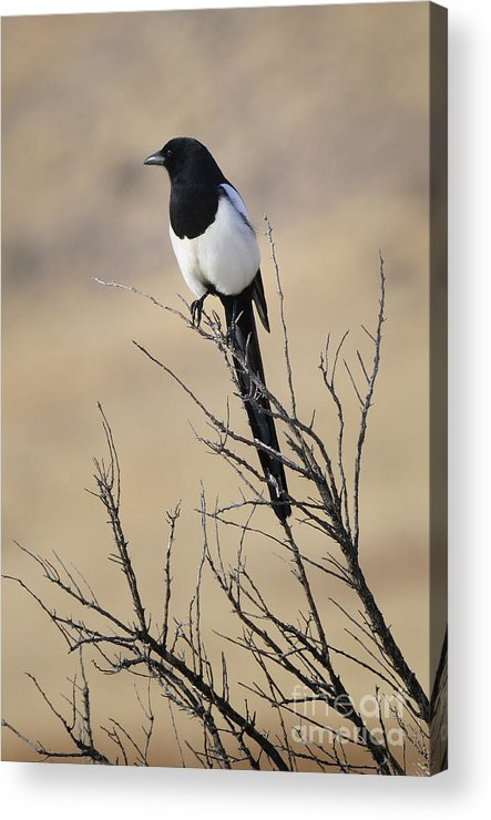 Birds Acrylic Print featuring the photograph Black-billed Magpie by Dennis Hammer