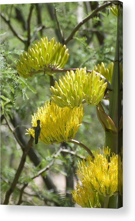 Aloe Acrylic Print featuring the photograph Aloe Blossoms with a Hummingbird by Richard Henne