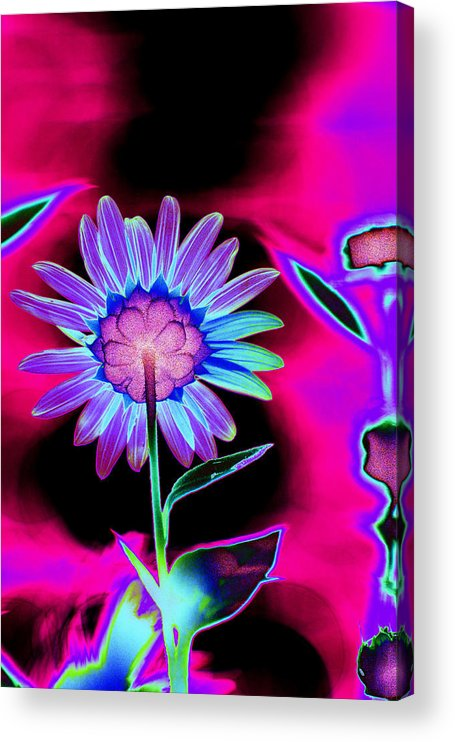 Flower Acrylic Print featuring the photograph Aurora Daisy by Richard Henne