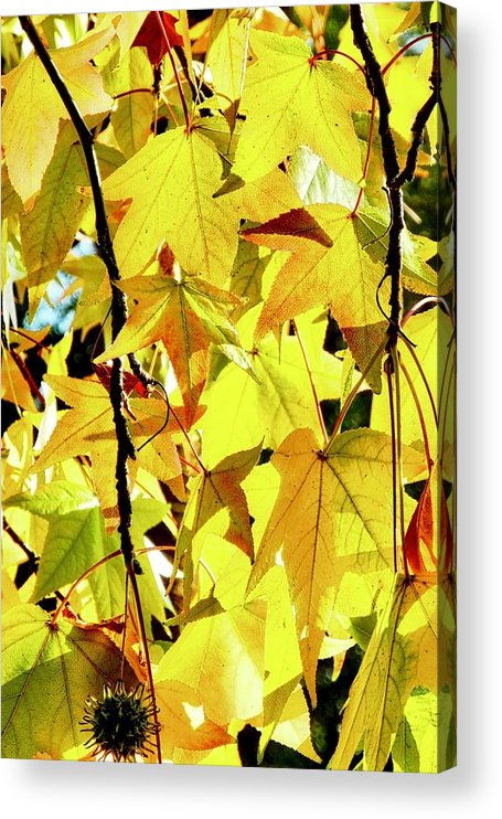 Liquidambar Acrylic Print featuring the photograph Backlit Liquidambar Leaves by Kirsten Giving