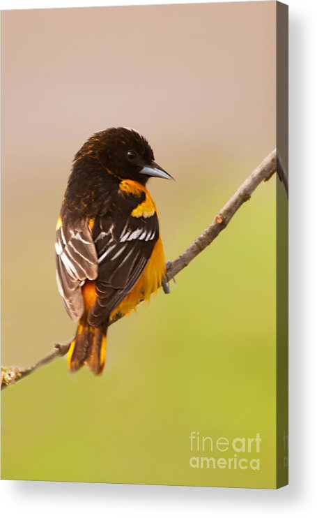 Finch Acrylic Print featuring the photograph Finch by Gaby Swanson