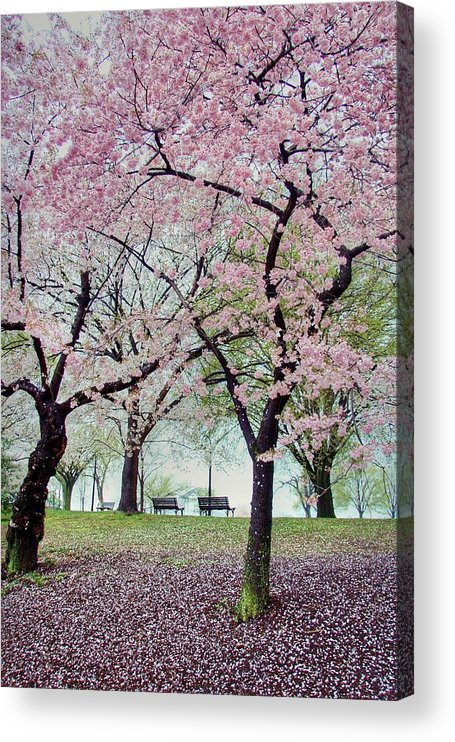 Cherry Blossoms Acrylic Print featuring the photograph Gifts by Mitch Cat