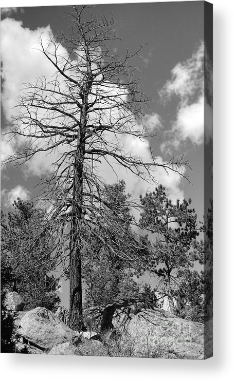 Trees Acrylic Print featuring the photograph Grandfather Tree by Pete Hellmann