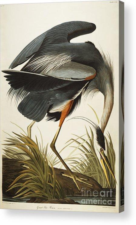 Great Blue Heron Acrylic Print featuring the drawing Great Blue Heron by John James Audubon