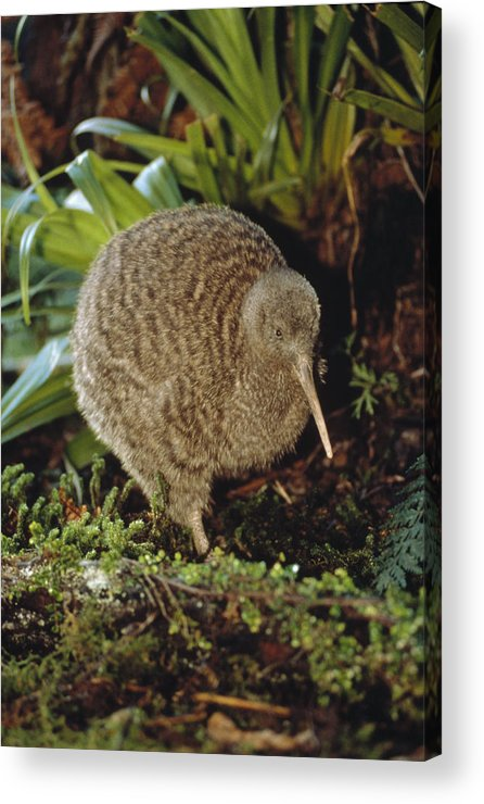 Mp Acrylic Print featuring the photograph Great Spotted Kiwi Apteryx Haastii Male by Tui De Roy