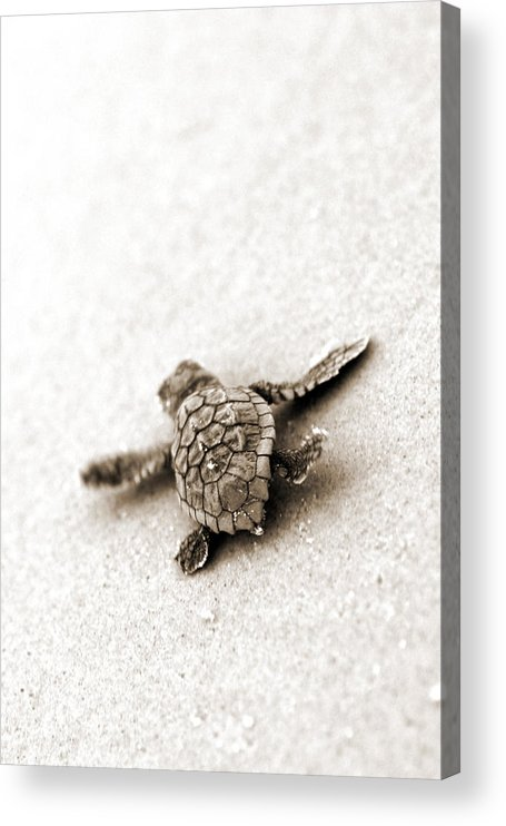 Loggerhead Turtle! Hilton Head Island Acrylic Print featuring the photograph Loggerhead by Michael Stothard