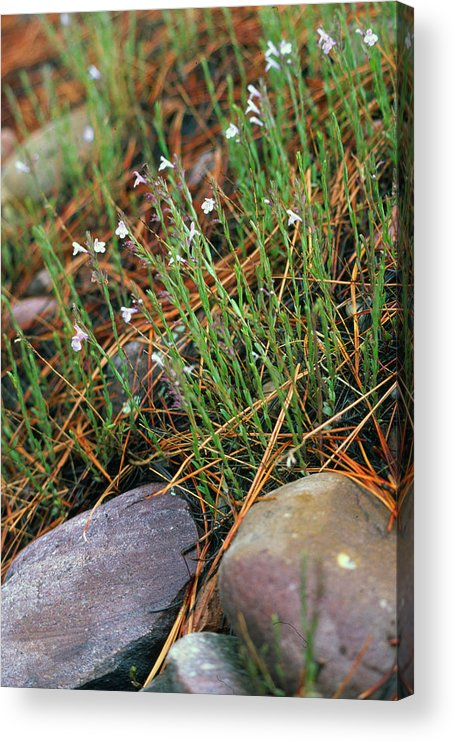 Forest Floor Acrylic Print featuring the photograph Miniature Bells by Randy Oberg