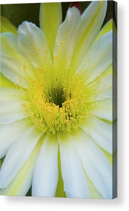Cirrus Acrylic Print featuring the photograph Night Blooming Cirrus In Dawn's Early Light by Richard Henne