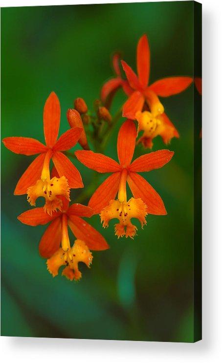 Orange Acrylic Print featuring the photograph Orange Flowers by Mandy Wiltse