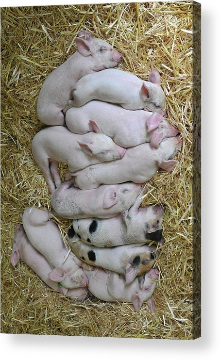Vertical Acrylic Print featuring the photograph Piglets by Rebecca Richardson