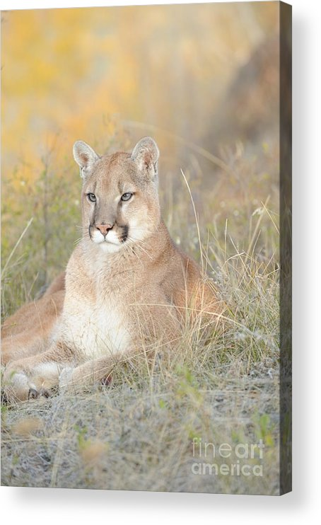 Mountain Lion Acrylic Print featuring the photograph Portrait of a Mountain Lion by Dennis Hammer