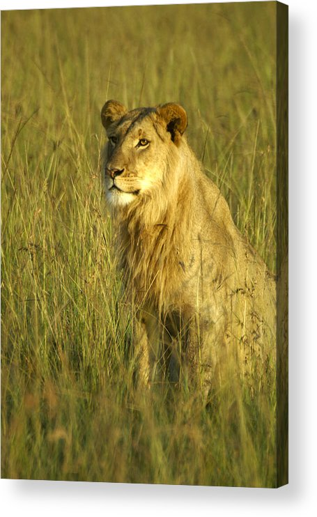 Africa Acrylic Print featuring the photograph Princely Lion by Michele Burgess