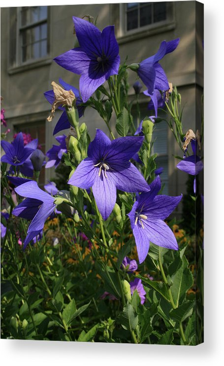 Flowers Acrylic Print featuring the photograph Purple Stars by Alan Rutherford