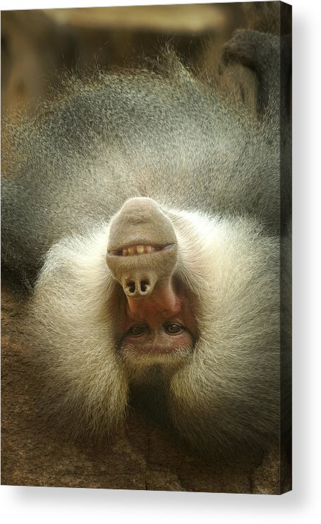 Baboon Acrylic Print featuring the photograph Reclining Baboon by Richard Henne