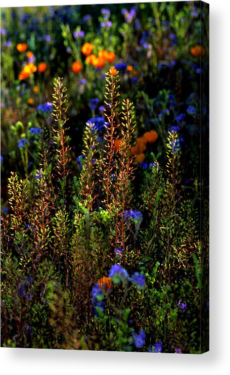 Flowers Acrylic Print featuring the photograph Shimmers by Randy Oberg