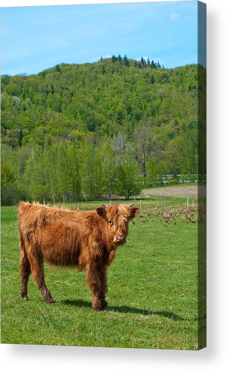 Vermont Acrylic Print featuring the photograph Vermont Cow by Mandy Wiltse