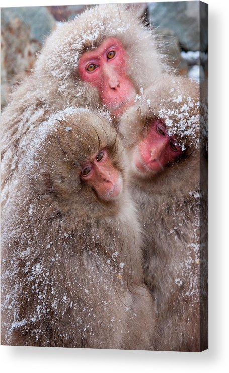 Vertebrate Acrylic Print featuring the photograph Japanese Macaques, Japanese Alps by Mint Images/ Art Wolfe