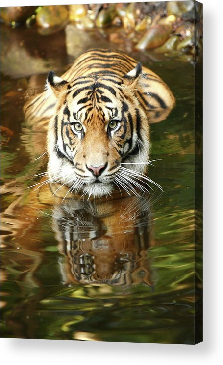 Big Cat Acrylic Print featuring the photograph Tiger by Craigrjd