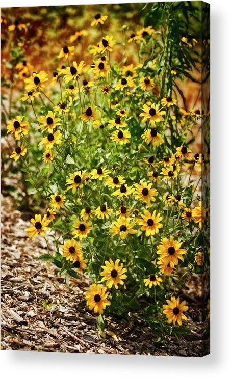 Rockville Acrylic Print featuring the photograph A Group Of Bossoming Black-eyed Susans by Maria Mosolova