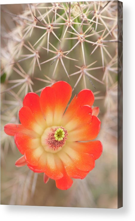 Orange Color Acrylic Print featuring the photograph Beautiful Claret Cup Hedgehog Blossoms by Lokibaho