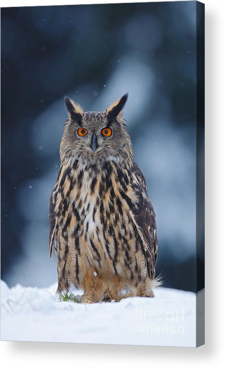 Big Acrylic Print featuring the photograph Big Eurasian Eagle Owl With Snowflakes by Ondrej Prosicky