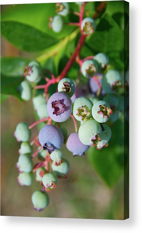 Large Group Of Objects Acrylic Print featuring the photograph Blueberries by ©howd, Howard Lau