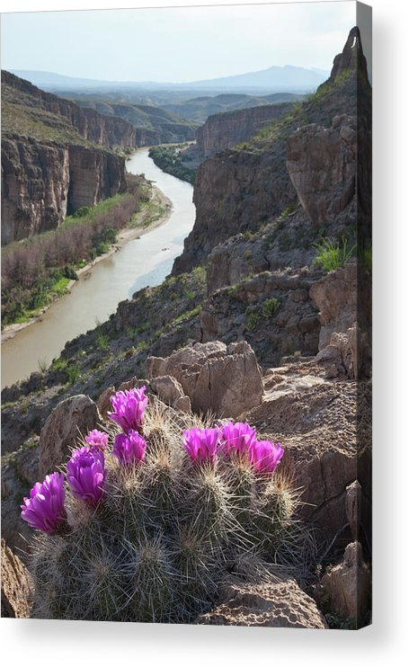 Chihuahua Desert Acrylic Print featuring the photograph Cactus Flowers Overlooking The Rio by Dhughes9
