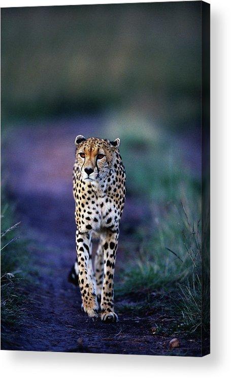 Kenya Acrylic Print featuring the photograph Cheetah Acinonyx Jubatus by Anup Shah
