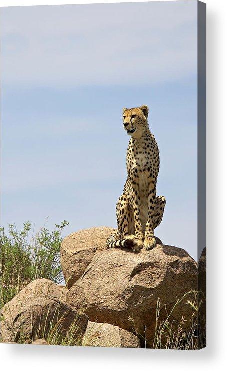 Tanzania Acrylic Print featuring the photograph Cheetah Acinonyx Jubatus Sitting On A by James Hager / Robertharding