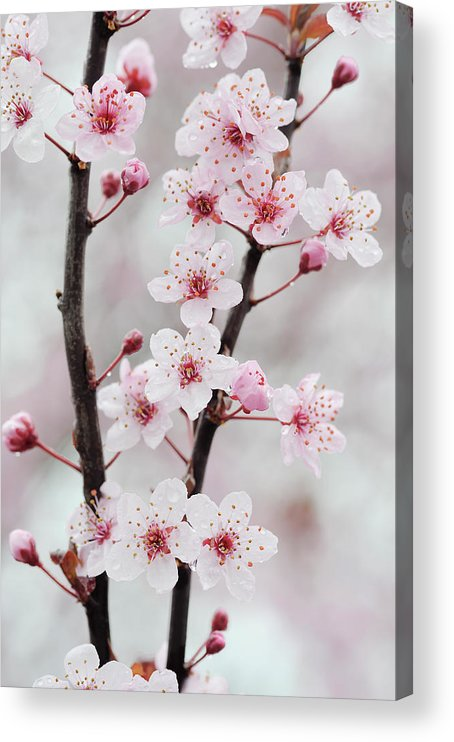 Cherry Acrylic Print featuring the photograph Cherry Plum Purple Plum Pink Flowers On by Martin Ruegner