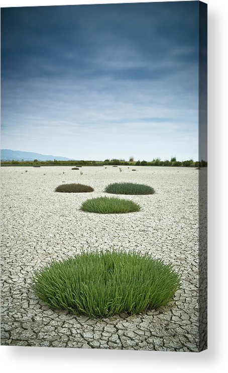 Grass Acrylic Print featuring the photograph Clumps Of Grass Growing Through Cracked by David Duchemin / Design Pics