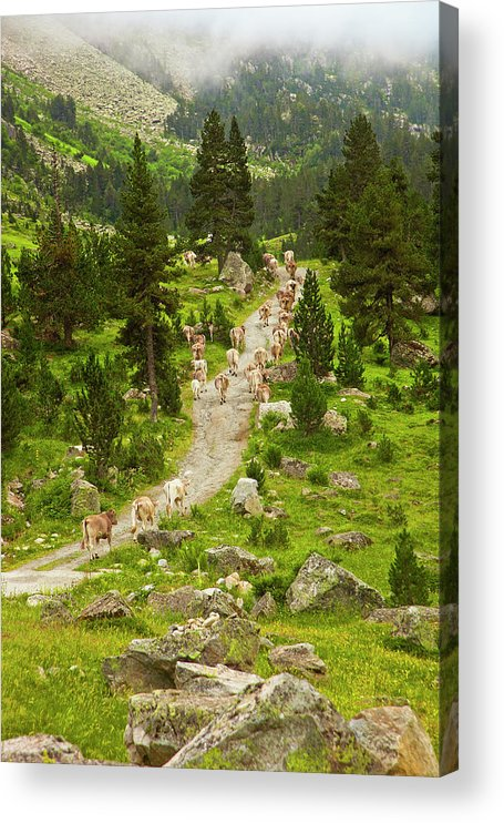 Catalonia Acrylic Print featuring the photograph Cows Walking In Catalan Pyrenees by Gonzalo Azumendi