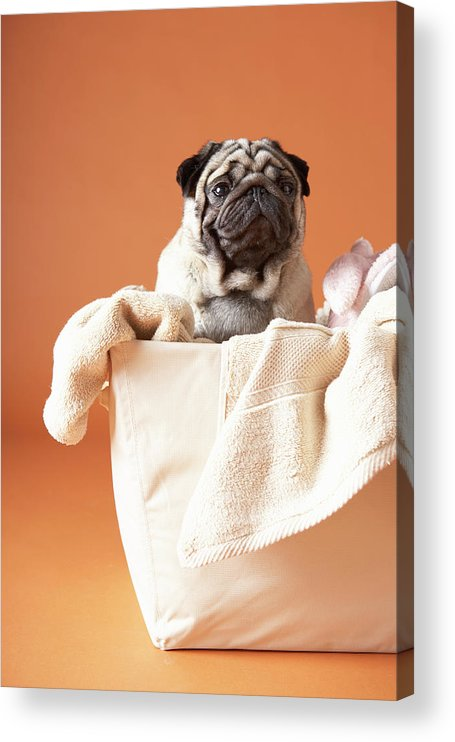 Pets Acrylic Print featuring the photograph Dog In Basket by Chris Amaral