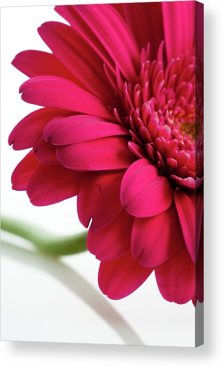 Flowerbed Acrylic Print featuring the photograph Gerbera Daisy by Subman
