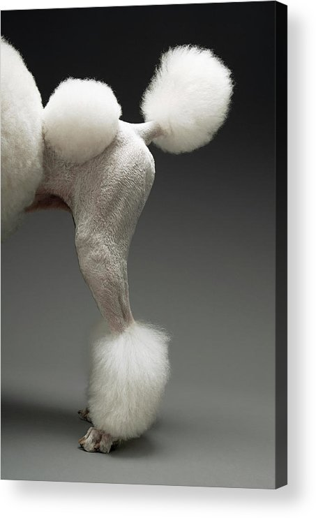Pets Acrylic Print featuring the photograph Haunches Of Poodle, On Grey Background by Moodboard