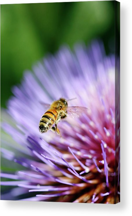Scenics Acrylic Print featuring the photograph Honey Bee by Filo