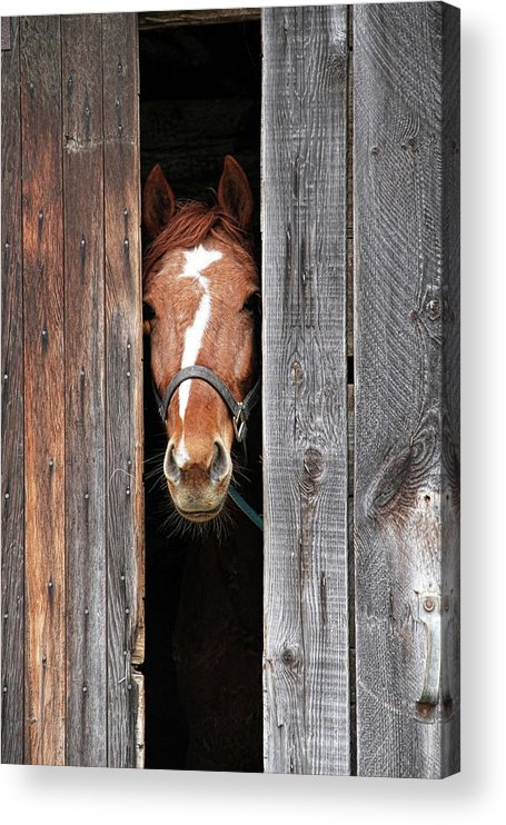 Horse Acrylic Print featuring the photograph Horse Peeking Out Of The Barn Door by 2ndlookgraphics